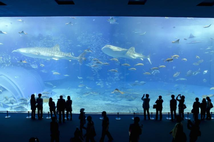 Experience the dynamic ocean world!  Watch whale sharks swimming in one of the largest aquarium tank in the world! Enjoy Chura-umi Aquarium to your heart's content!