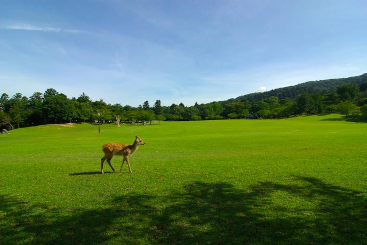 Interaction with Semi-Wild Deer which is designated as a special natural treasure in the world heritage